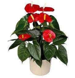 Anthurium Flowering Pot Plant  sc 1 st  IndiaMART & Manufacturer of Flowers \u0026 Plants by Florance Flora Bengaluru