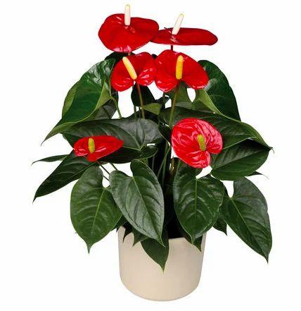 228 & Flowering Pot Plants - Anthurium Flowering Pot Plant ...