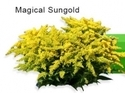 Solidago Fresh Flower