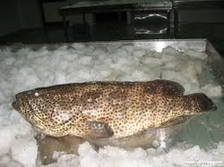 Black Spotted Grouper Fish