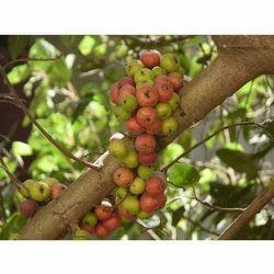 Gular & Ficus Racemosa