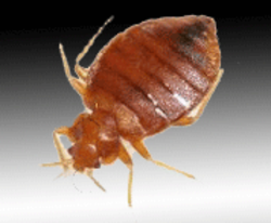 Bed Bugs Control Service In Pune Shaniwar Peth By N R Pest