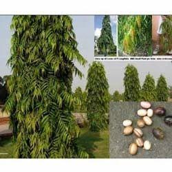 Polyalthia Longifolia Plant