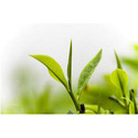 Darjeeling Tea Leaf