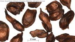 Ficus Seeds