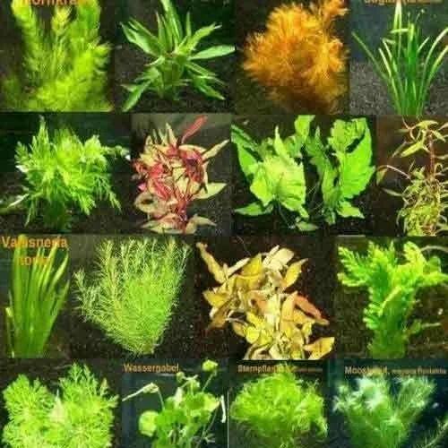 Live Aquarium Plants Fish