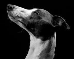 Dog Pets Treatment