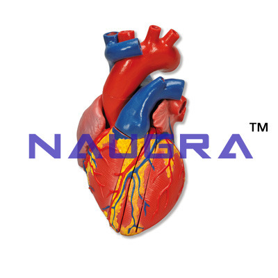 Heart Dissection - Anatomy Model at Rs 1000 /pack(s) | Anatomical ...