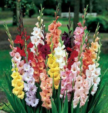 Image result for gladiola