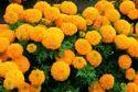 Calcutta Marigold Rooted Cuttings