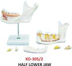 Half Lower Jaw Model