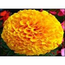 Shree Golden Marigold Seeds