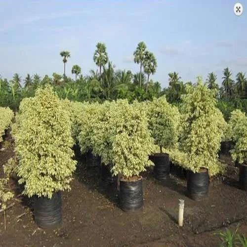 Ficus Starlight Plant Fresh Flowers Plants Trees Ganga
