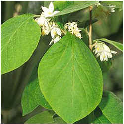 Styrax Benzoin (sumatra)