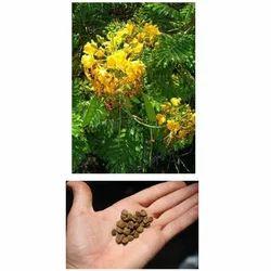 Caesalpinia Pulcherrima Seed
