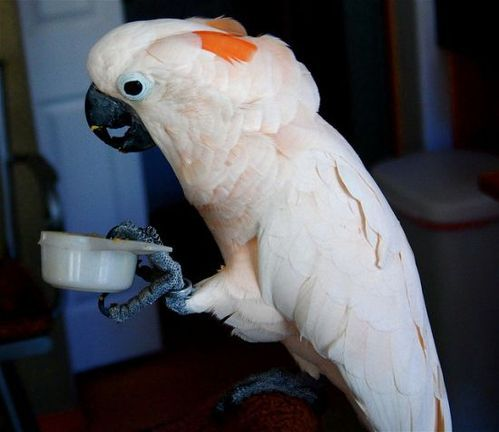 Hand Tamed Moluccan Cockatoos For Sale