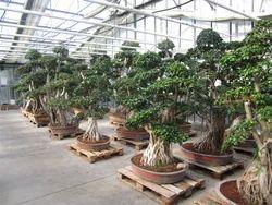 Bonsai Plants In New Delhi Delhi India Indiamart