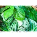 Organic Betel Leaf