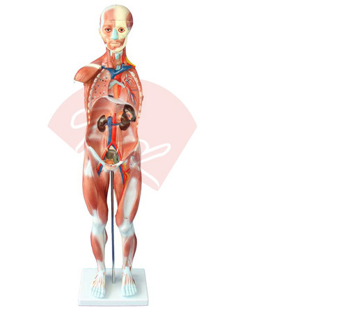 Human Muscles Model Males 27 Parts, Human Anatomy Models, मानव ...