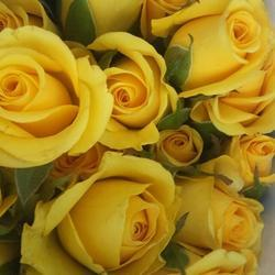 Yellow rose in pune latest price and mandi rates from dealers in pune yellow rose flowers mightylinksfo