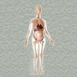 Visible Expectant Mother Anatomy Model