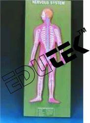 Human Nervous System
