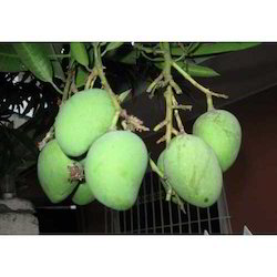 Himayat Mango
