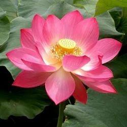 Lotus flower fresh flowers plants trees agritech business in lotus flower mightylinksfo