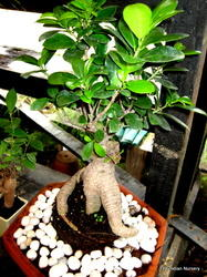 Ficus Ginseng Grafted Chinese Ficus Bonsai