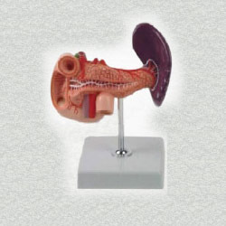 Model Of Spleen Pancreas and Duodenum