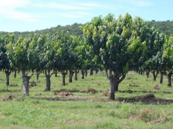 8 Acre Mango Organic Farm