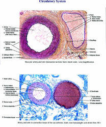 Histological Charts