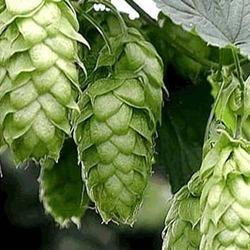 Hops Strobile Extract