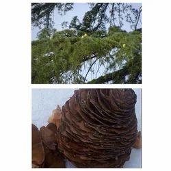 Cedrus Cone Seed