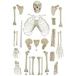 human skeleton wholesaler & wholesale dealers in india, Skeleton