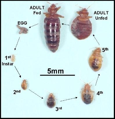 Bed Bugs Treatment Bed Bugs Control In Mumbai Ask Anush Id