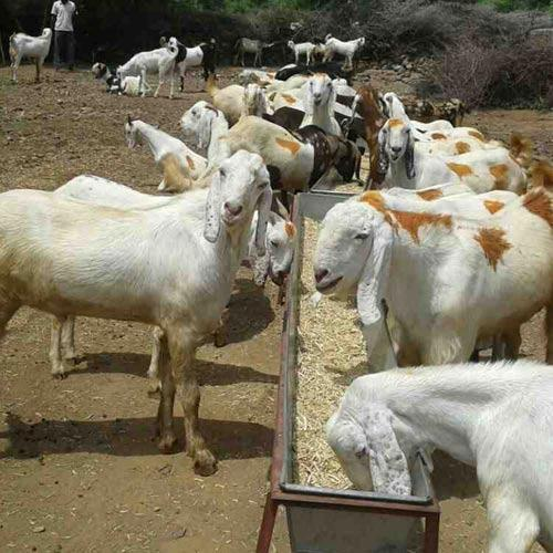 Profitable Goat Farming Business Plan In India