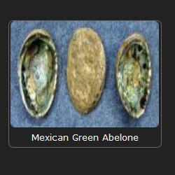 Mexican Green Abelone