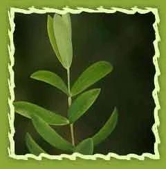 Tea tree Oil (Melaleuca alternifolia) - Natural Cosmetic