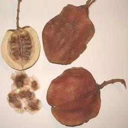 Jacaranda Mimosifolia Pods Seeds