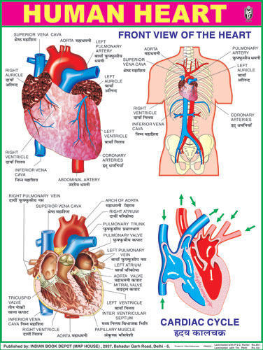 human heart chart images: Science charts blood circulation charts manufacturer from delhi