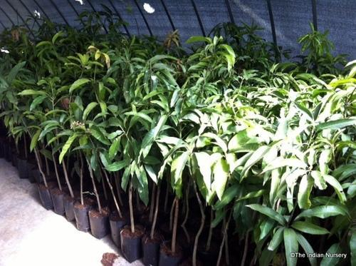 Grafted Hybrid Mango In Soilless Media