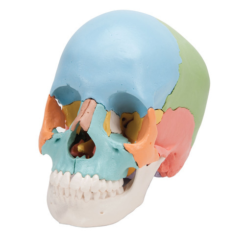 Life Size Skull Colored
