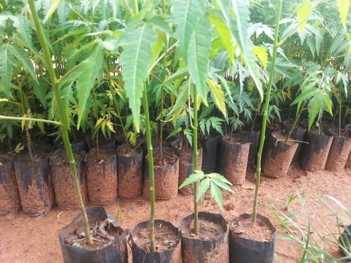 Malabar Neem Melia Dubia Plants At Rs 5 1 Piece मेलिया