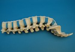 Spine Lumbar Sacrum Model