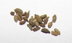 Daucus Carota (Carrot Seed)