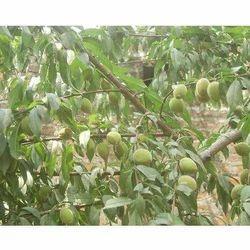 Prunus Armeniaca Plant