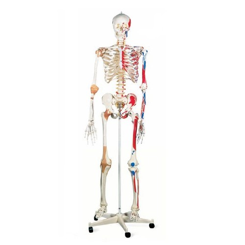 human skeleton with nerves, laboratory & lab equipment | models, Skeleton