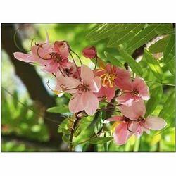 Cassia Javanica Flowers Seed