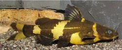 Bumble Bee Cat Fish